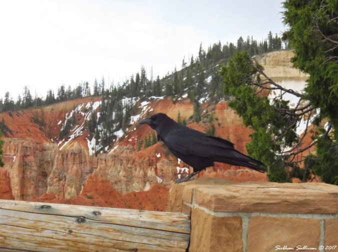 Common Raven at Bryce National Park 6May2017