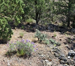 Purple Sage 15May201