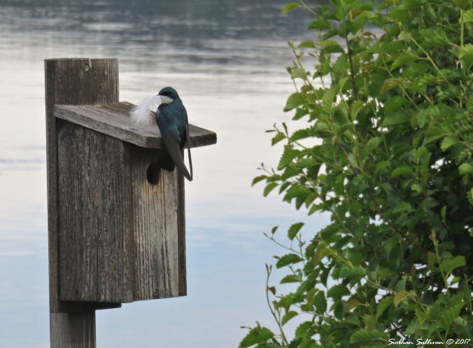 Tree swallow in Bend, Oregon 4June2017