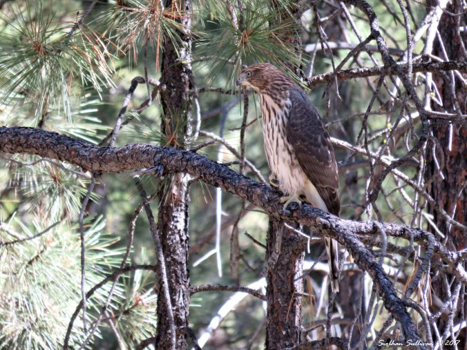 Immature Cooper's hawk near Bend, Oregon 6Sept2015
