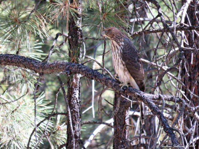 Immature Cooper's hawk near Bend, Oregon 6Sept2015