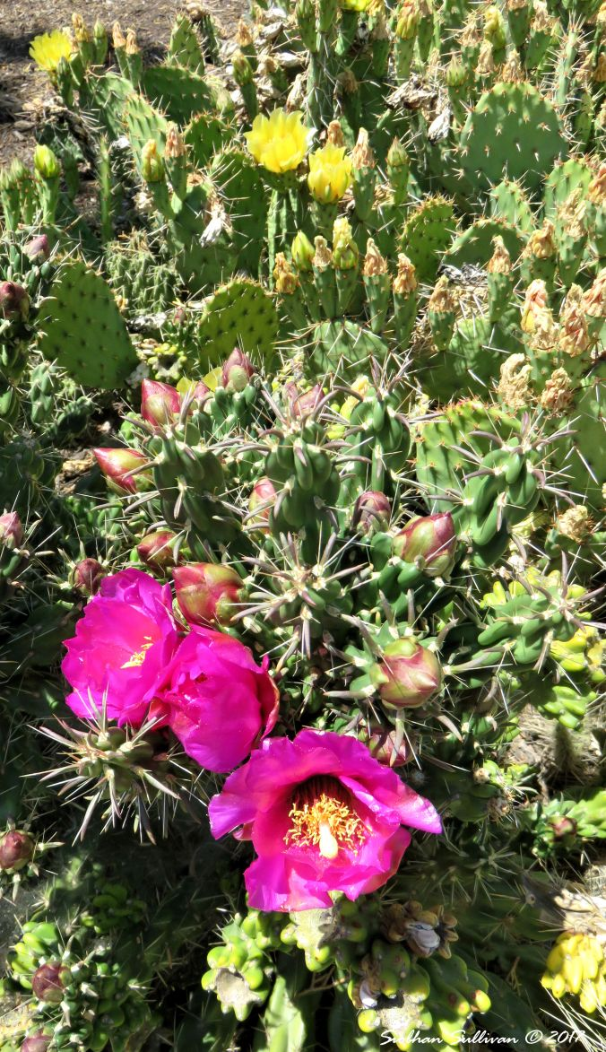 Opuntia & cholla cactus blooming in Bend, Oregon 30June2017