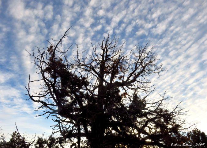 Western tree in Bend, Oregon 19November2017