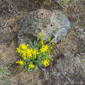 Yellow groundsel flowers near Bend,Oregon June2016