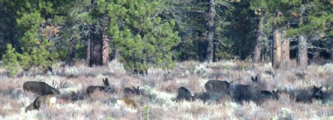 Mule deer 18November2017