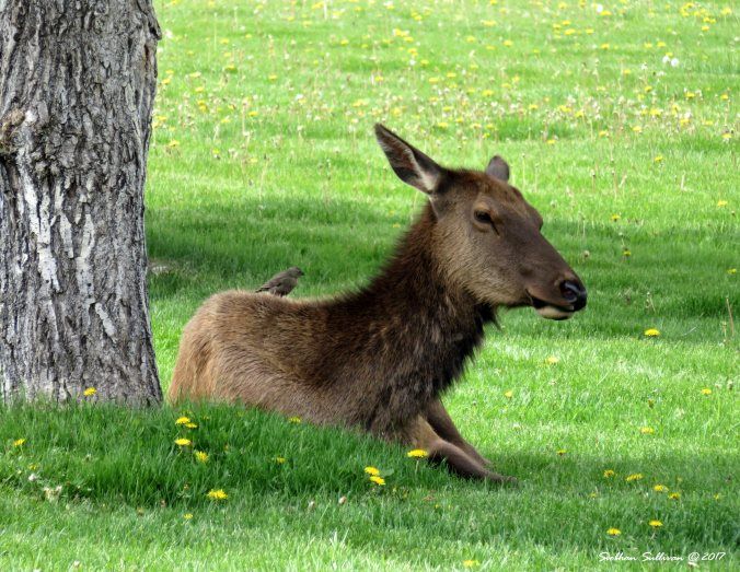 Elk with songbird at Yellowstone National Park, Wyoming 4June2015
