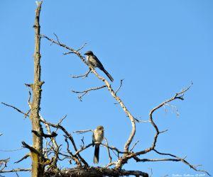 California Scrub Jay in western juniper tree in Bend, Oregon 1August2017