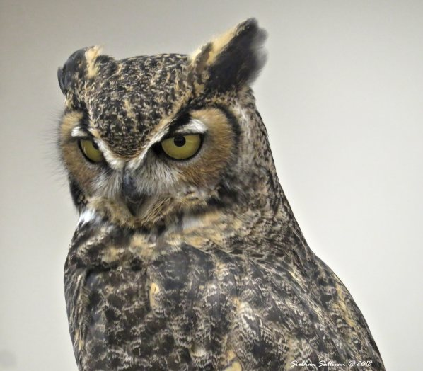 Great horned owl at High Desert Museum 20January2018