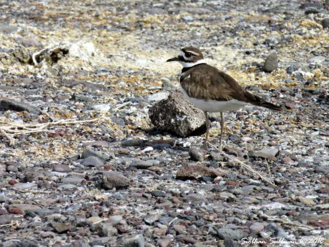 Killdeer at Summer Lake, Oregon 30March2018