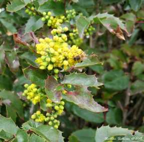 Oregon Grape Blossoms 10April2018