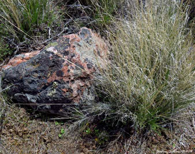 Lichen Painted Rhyolite Rock 1May2018