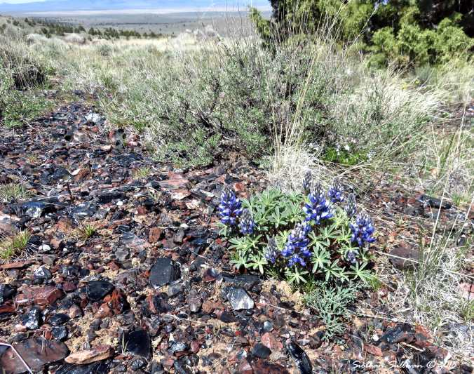 Lupine at Glass Buttes 1May2018