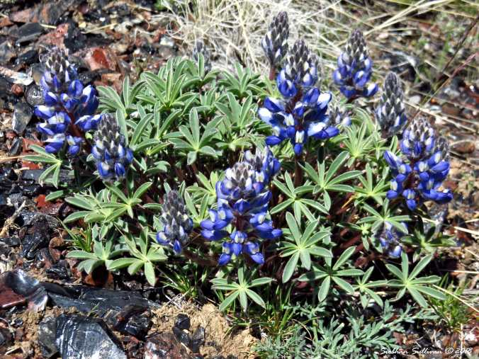 Lupine at Glass Buttes, Oregon 1May2018
