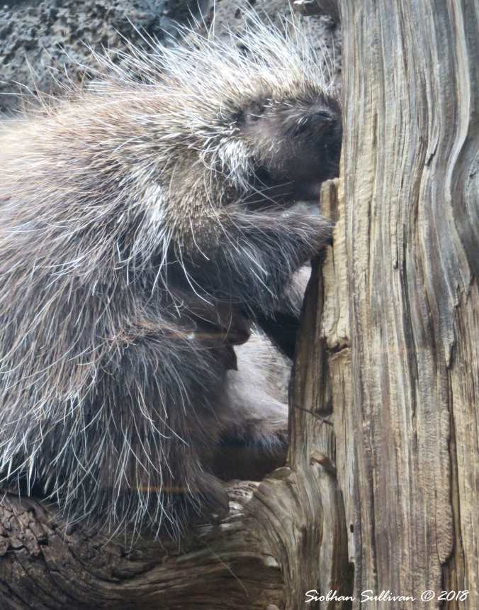 Making a Point Porcupine 15May2018
