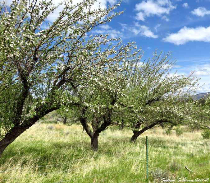 McCoin Orchard at Gray Butte trailhead 9May2018