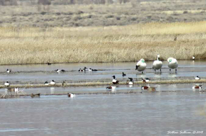Twisted Swans at Summer Lake, OR 29March2018