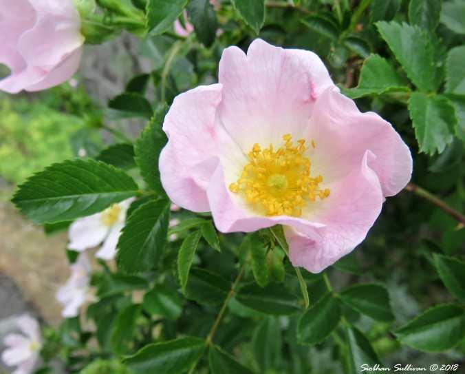 Wild Rose 15May2018