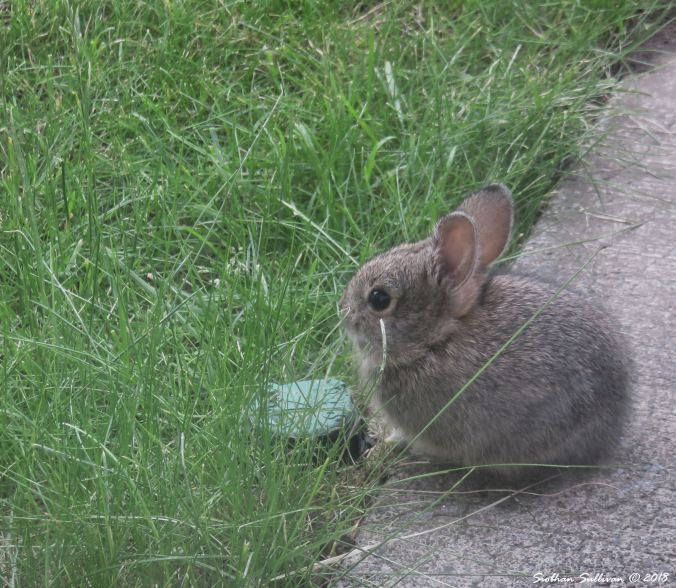 Baby bunny in Bend 17June2018