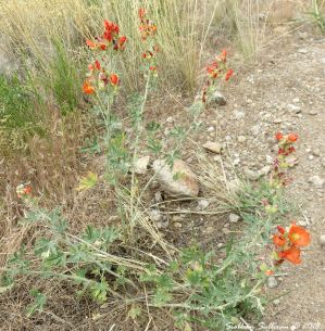 Orange globemallow at Clarno Palisades 15May2018
