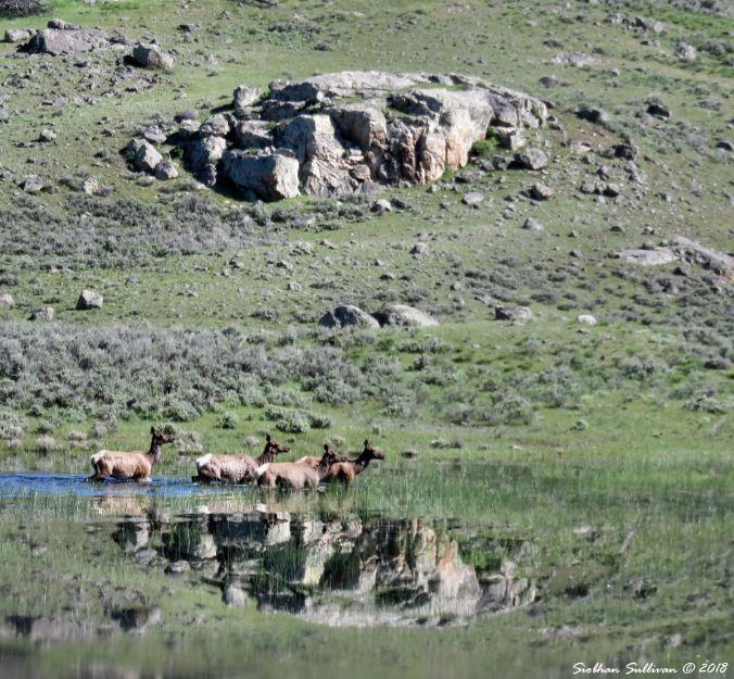 Lamar Valley Elk 2 Yellowstone National Park, Wyoming 1June2018