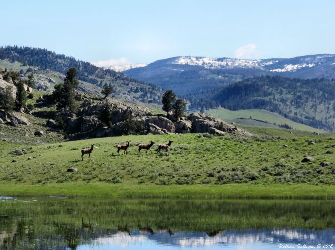 Lamar Valley Elk 4 1June2018