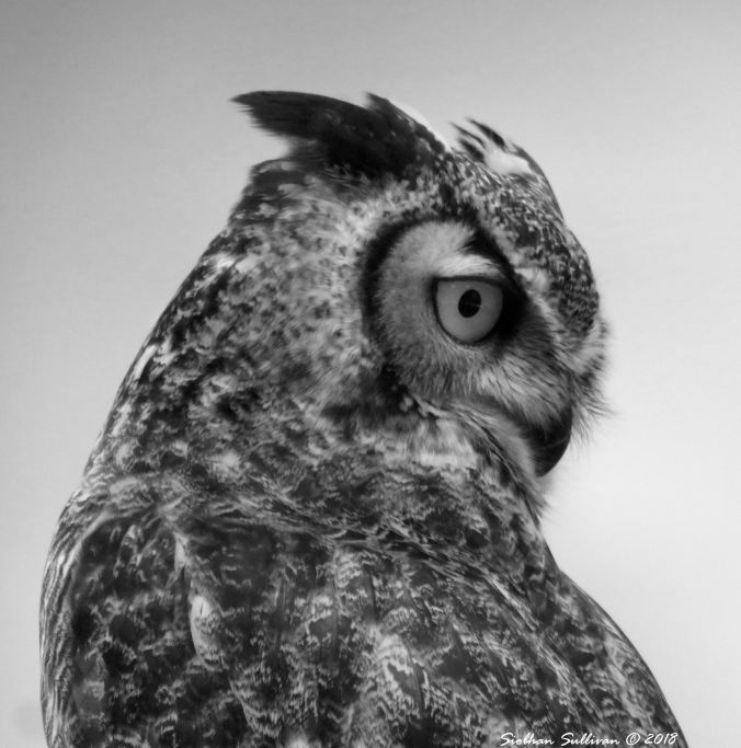 Wisdom Black & White Great Horned Owl 20January2018