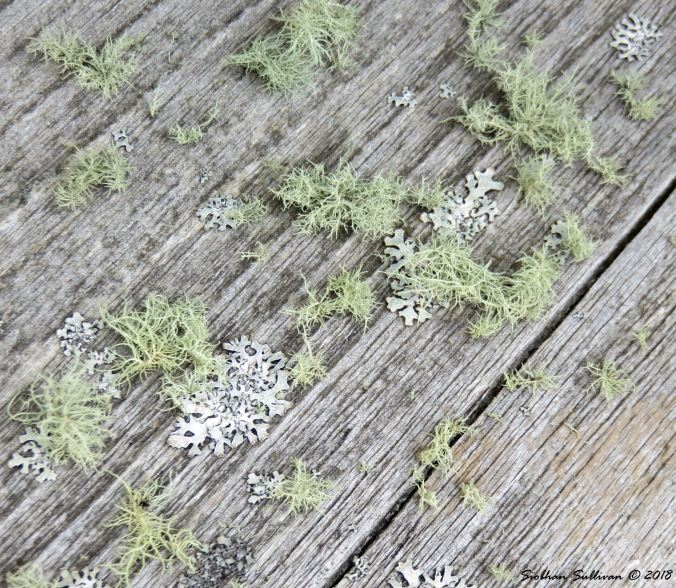 Worlds beneath me - a lichen forest on weathered wood 21June2018