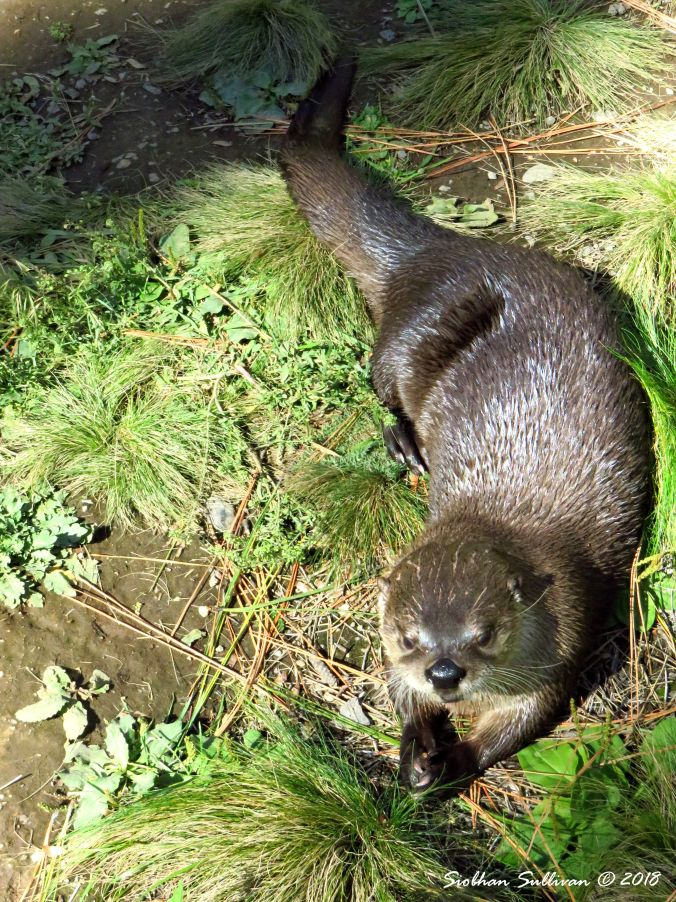 Otters Cooling 2 27September2016