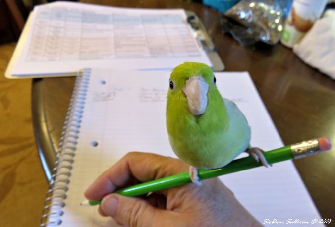 Can I help Parrotlet 26August2018