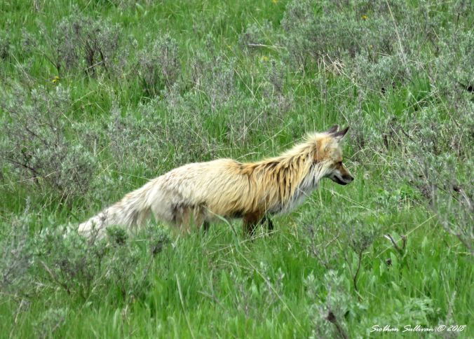Red fox, Yellowstone National Park 4June2015