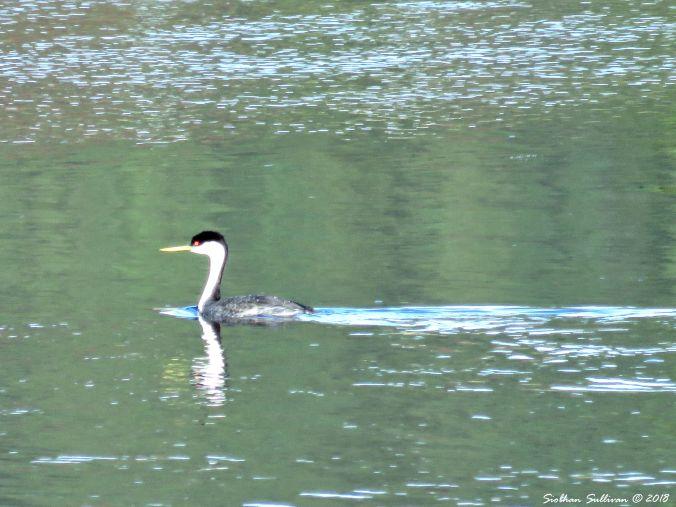 Making a splash, Western grebe on the Deschutes River 21October2016