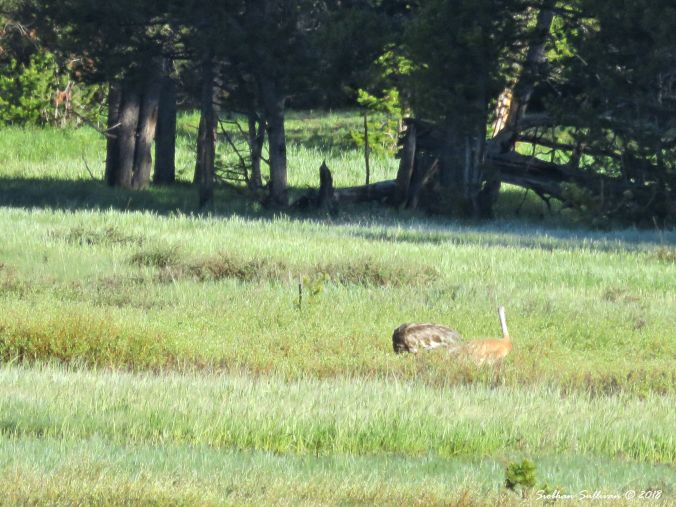 Yellowstone Hidden & Revealed, Sandhill cranes 1June2018
