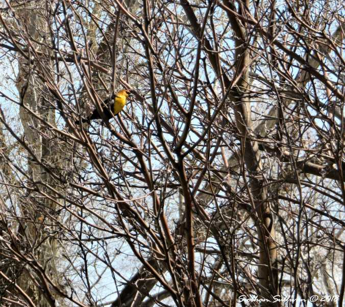 Seasons Yellow Head Blackbird 7April2018