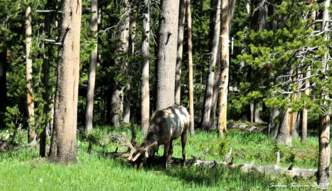 Elk in shadowy forest, Wyoming 2June2018