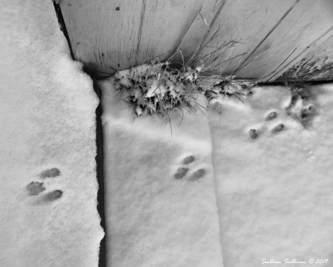 Pygmy rabbit tracks in the snow 12February2019