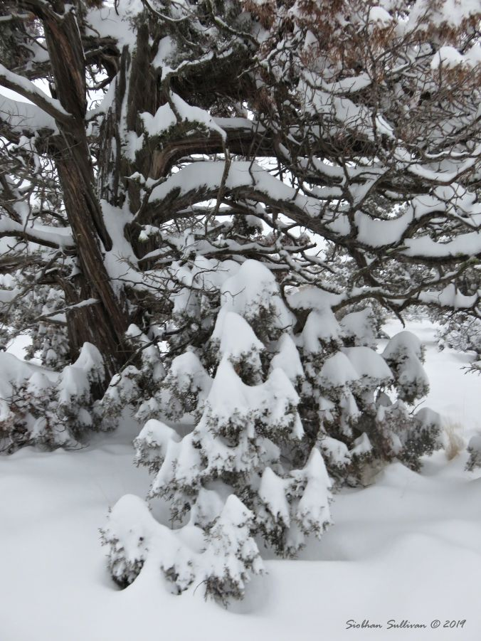 Snowy Juniper 24February2019