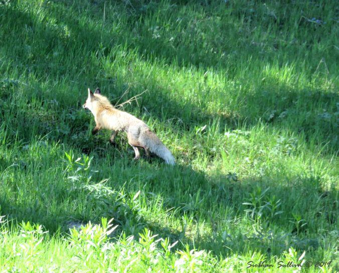 Fox at Yellowstone 7June2018