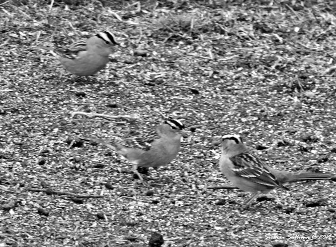 White-Crowned Sparrow 3BW 14April2019