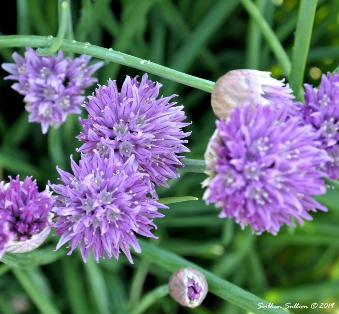 Delicate-Beauty Chive-24May2019