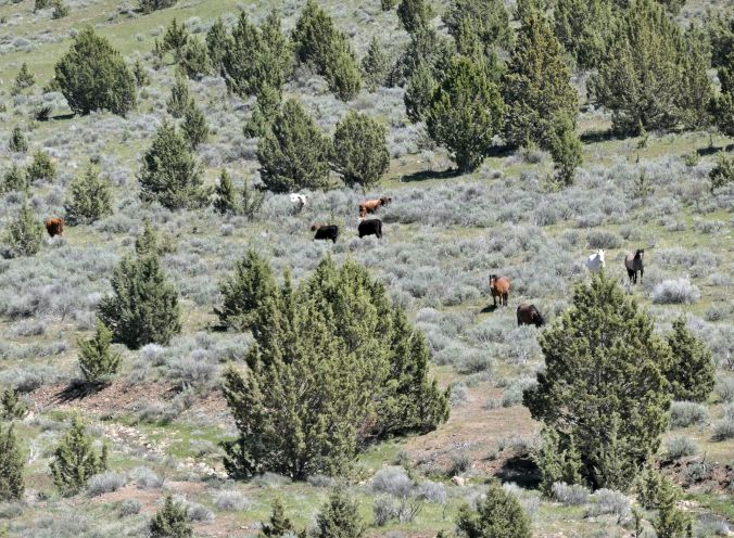 Cattle & horses, eastern Oregon 3May2019
