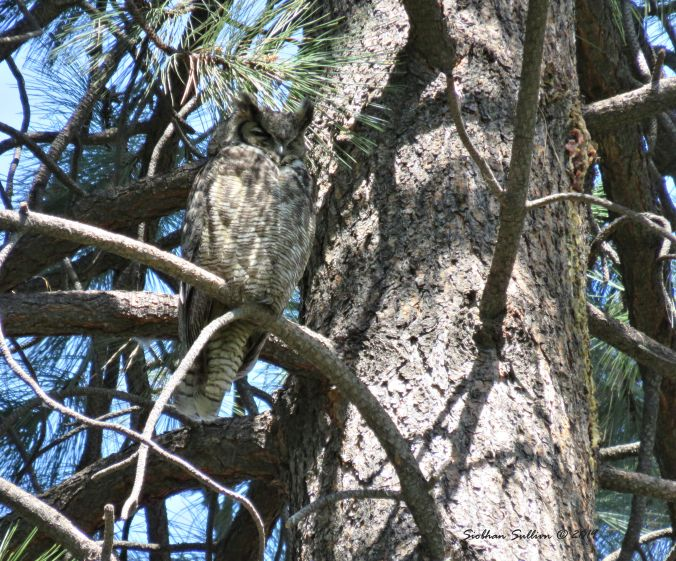 Great horned owl in a ponderosa pine tree 8May2015