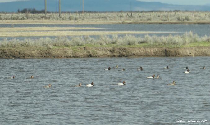 Canvasback ducks and redhead ducks, Harney County, Oregon 12April2019