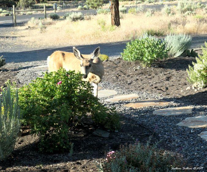 Invisible mule deer, Bend, Oregon 20July2019