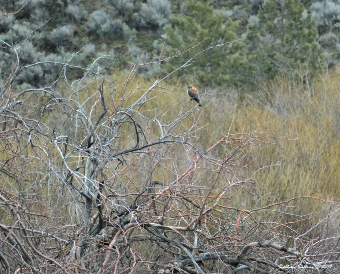 Raptors in Malheur National Forest, American kestrel 13April2019