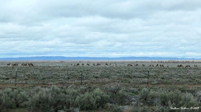 Herd of mule deer, Harney County, OR 13April2019
