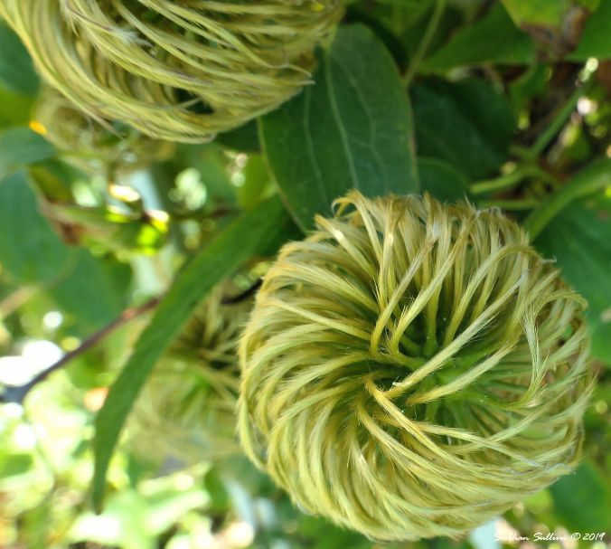 A swirling clematis growing in Culver, Oregon 20July2019