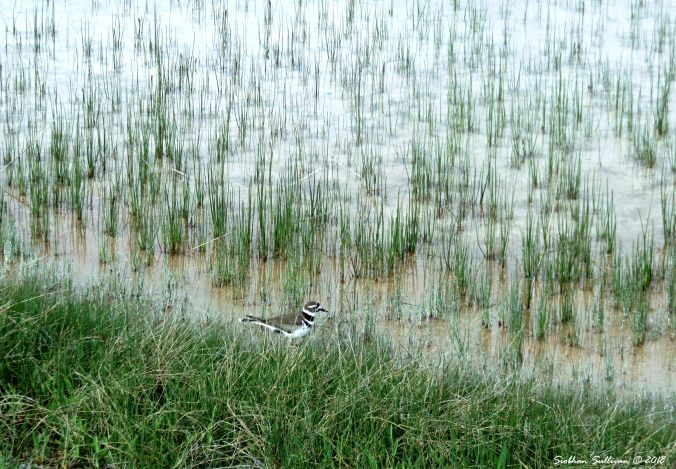 Killdeer in the rushes, Yellowstone National Park 30May2018