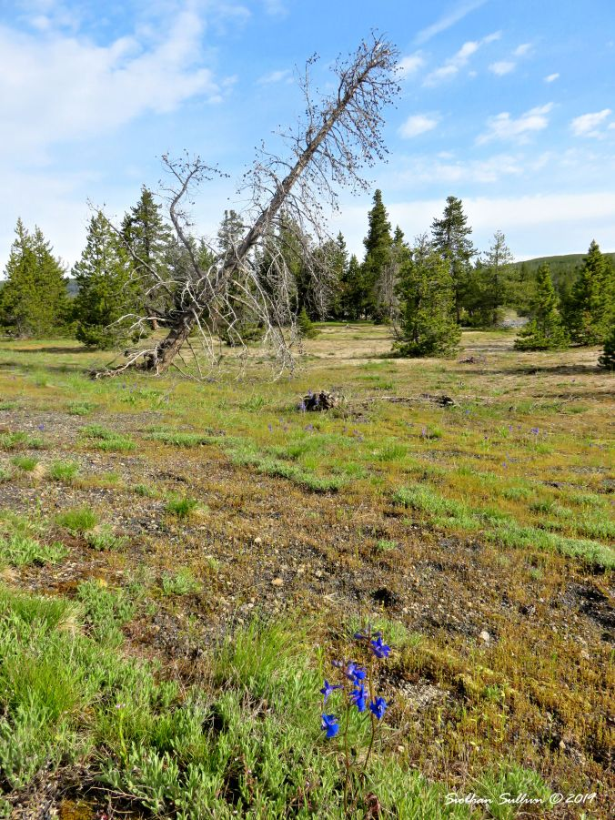Leaning tree & larkspur, Yellowstone, WY 30May2018