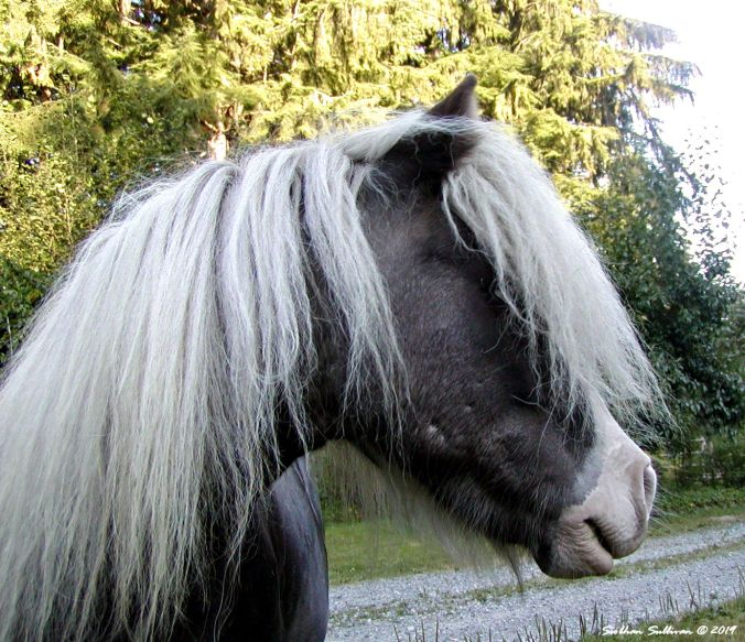 Photograph of a miniature horse