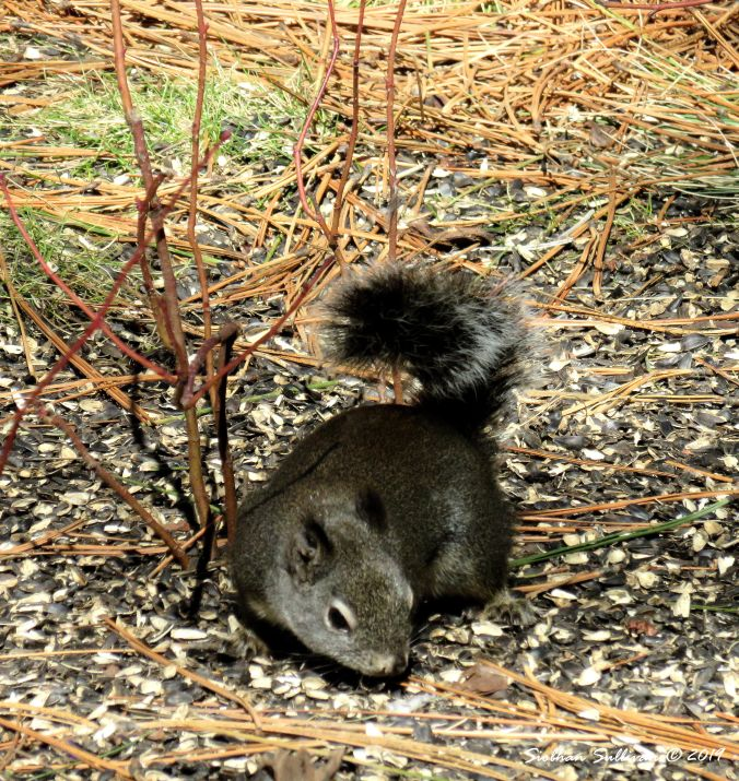Chickaree squirrel, High Desert Museum, Oregon